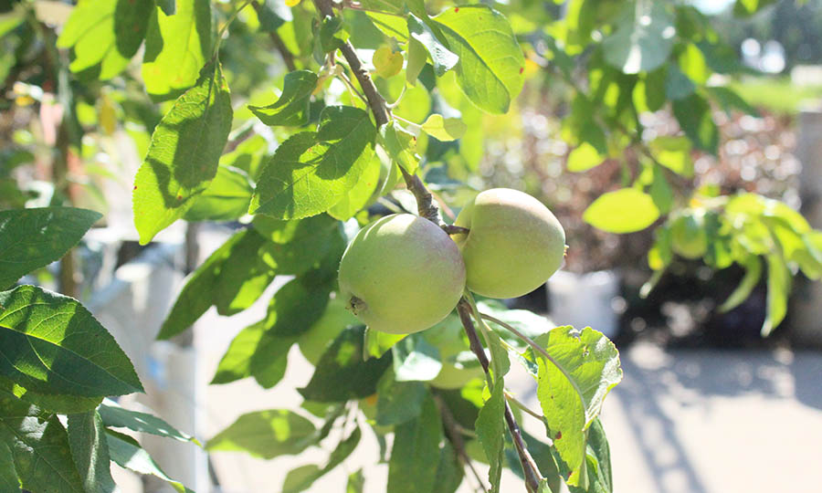 Fruit trees to plant