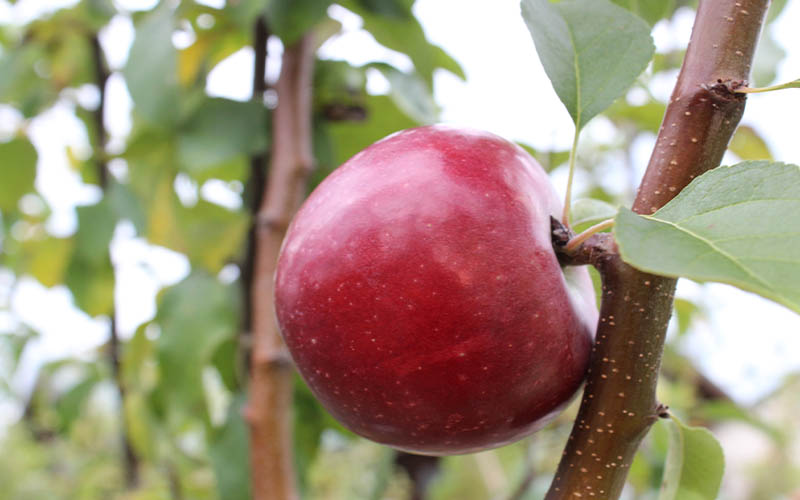 Culver's Edible Plants